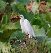 640px-Intermediate Egret in breeding plumage.1 - Fogg Dam - Middle Point - Northern Territory - Australia