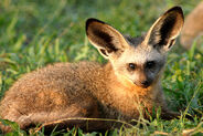 Bat-eared fox 4