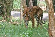 Bengal Tiger in Bangalore