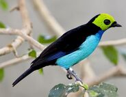 Paradise-Tanager-6