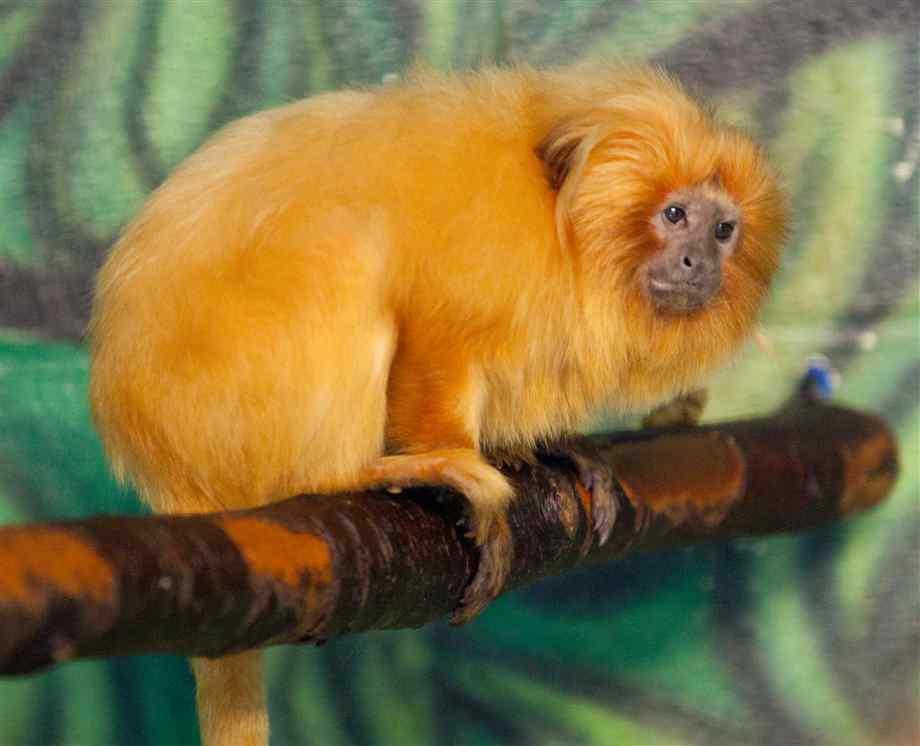 Golden Lion Tamarin The Parody Wiki Fandom Powered By