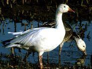 Snow-goose 711 600x450