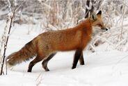 Red-fox-2a-917-xl