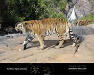 Panthera-t-sol1-738x591