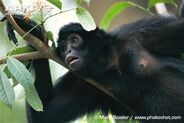 Close-up-of-a-brown-headed-spider-monkey