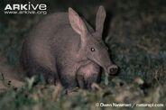 Aardvark-digging-burrow