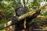 Adult-male-crested-black-macaque-chewing-branch