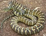 Darwin's carpet python