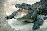 Crocodile, Mugger