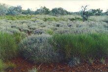 Triodia grass