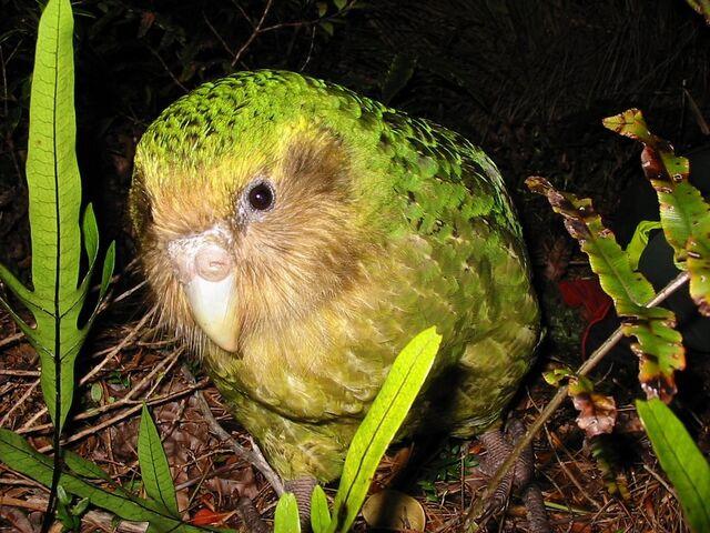 File:Kakapo-10.jpg