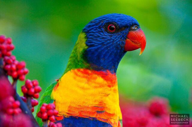 File:Rainbow-Lorikeet-LAQT0001.jpg
