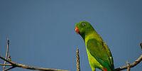 Vernal Hanging-parrot