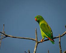 File:Vernal Hanging Parrot.jpg