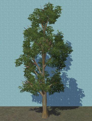 File:Eucalyptus.jpg