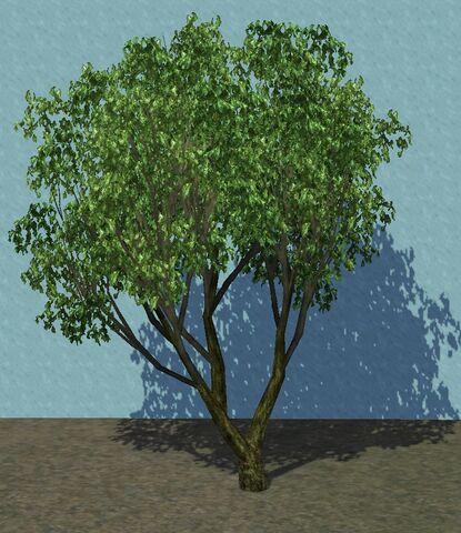 File:Olive1.jpg