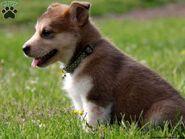 Marla-alaskan-malamute-mix-puppy-for-sale-from-gap-pa-alaskan-malamute-great-dane-mix-600x450
