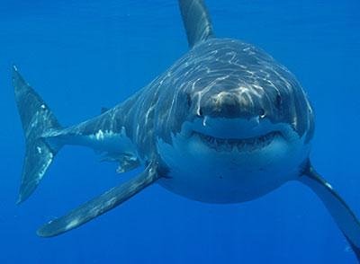 File:Shark quig.jpg