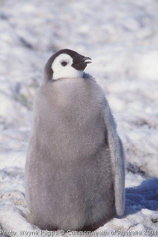 File:Penguin chick.jpg