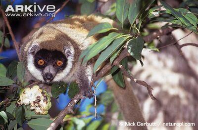 Female-mongoose-lemur-feeding- in Tsiombikibo Forest, NW Mada