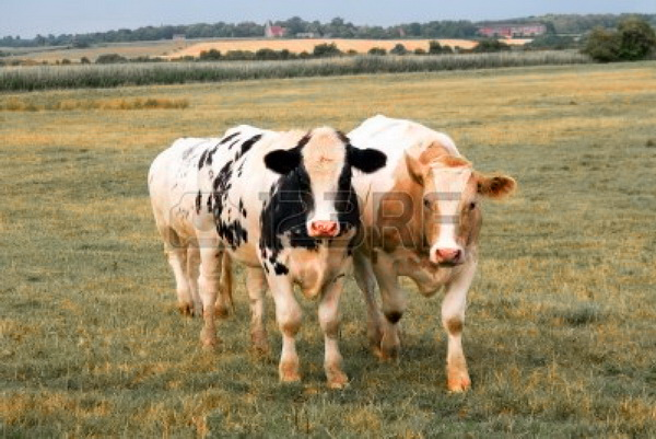 File:Cows in Pevensey.jpg