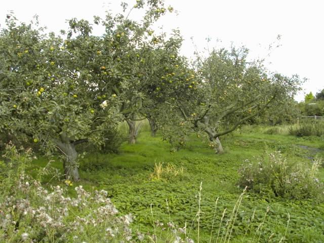 File:Orchard5.jpg