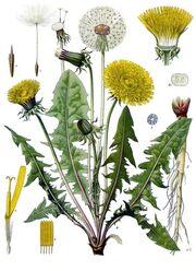 Taraxacum officinale - Köhler–s Medizinal-Pflanzen-135