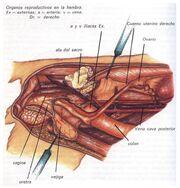 Educación Reproducción (órganos femeninos)