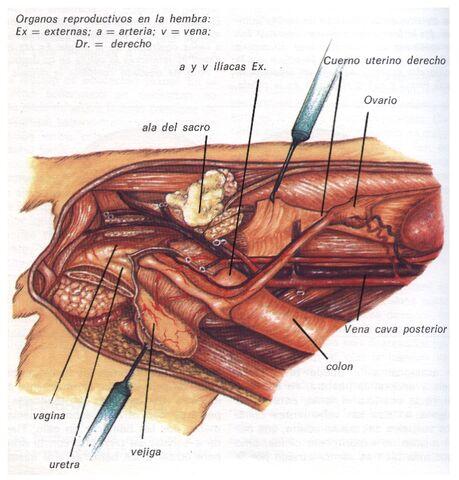 Archivo:Educación Reproducción (órganos femeninos).jpg