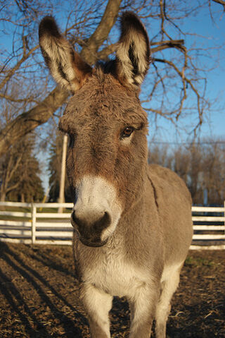 File:Winter Donkey in the Afternoon Sun.jpg