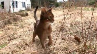 Cats 101 Animal Planet - Abyssinian ** High Quality **