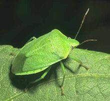 Green-stink-bug