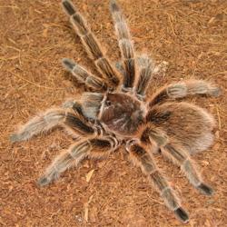 File:Chilean-rose-hair-tarantula.jpg