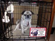 Guard pug