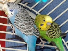 File:Parakeet-0.jpg