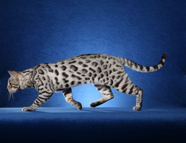 File:White-Bengal-Cat-Images.jpg