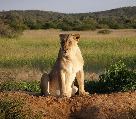 File:Okonjima Lioness.jpg