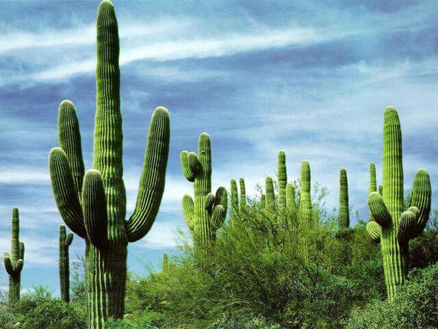 File:Cacti.jpg