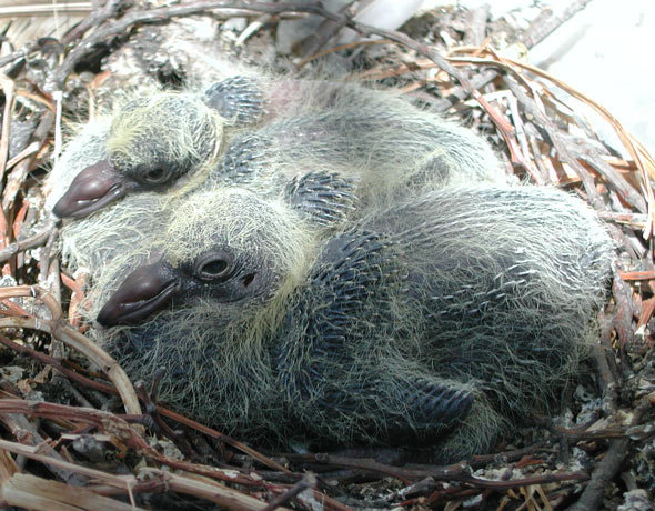 File:Feral Rock Dove nest with chicks.jpg