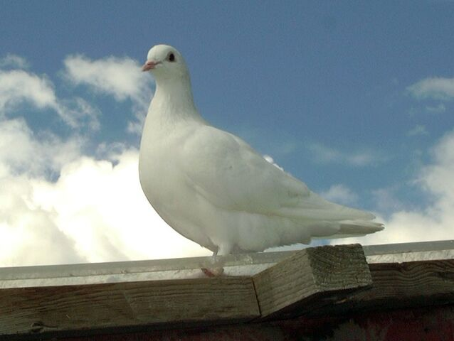 File:White homing pigeon.jpg