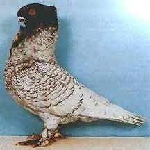 File:Pigeon.jpeg