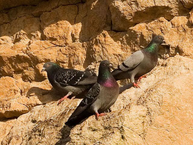 File:800px-Rock pigeons on cliffs.jpg