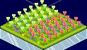 Tulip Field 1