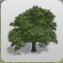Sycamore Tree 3 icon