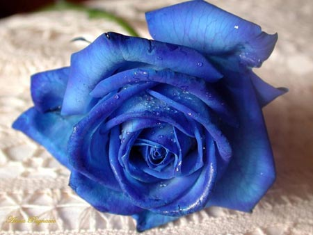 File:Blue-rose.jpg