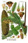 Illustration Abies alba0 clean