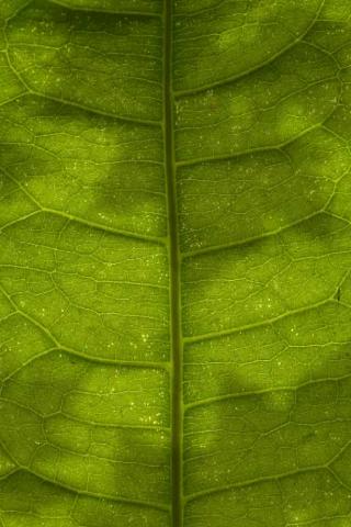 File:Macro Leaf Habitat.png