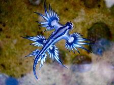 Blue dragon-glaucus atlanticus (8599051974)