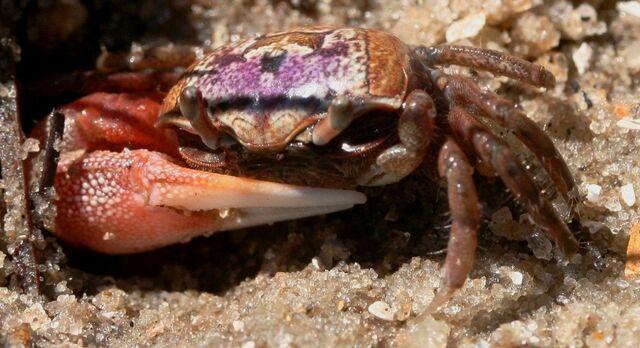 File:Fiddler crab male ft fisher 101509.JPG