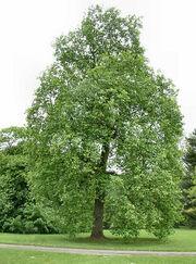 Poplar-tree